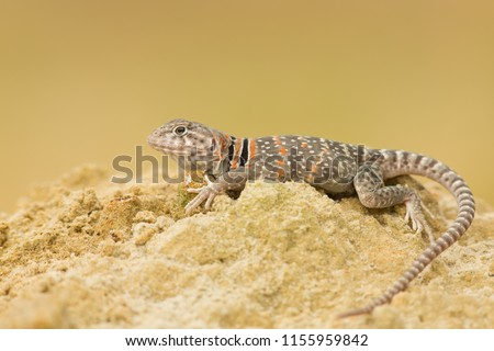 """The name """"collared lizard"""" comes from the lizard's distinct coloration, which includes bands of black around the neck and shoulders that look like a collar. - Shutterstock ID 1155959842"""