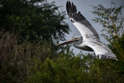 The name of the bird is spot - billed pelican...
