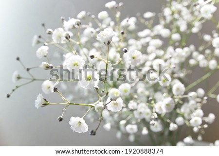 The name of these flowers is Annual Baby's-breath,Showy Baby's-breath. Scientific name is Gypsophila elegans. Stock fotó ©