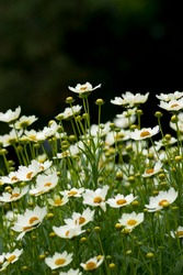 The name of these flowers is Coreopsis Star Cluster.