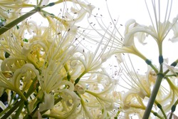The name of these flowers is White spider lily. Scientific name is Lycoris x albiflora Koidz.