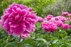 The name of these peonies is Sarah Bernhardt. Scientific name is Paeonia lactiflora.