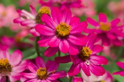 The name of this flower is Zinnia Profusion.  Scientific name is Zinnia.