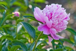 The name of this peony is Sarah Bernhardt. Scientific name is Paeonia lactiflora.