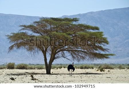 The National Biblical Wild Life Nature Reserve - Hai-Bar Yotvata , 25 miles north of Eilat, Israel