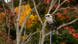 The native australia bird the Kookaburra , surrounded by colorful autumn leaves