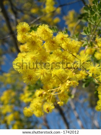 The native Australian Wattle plant has many globular golden yellow flowers. It is also known as Acacia.