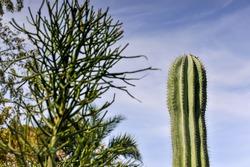 The natural Cactus with blue sky background at King Rama 9 park Bangkok,Thailand