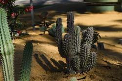 The natural Euphorbia Cactus in the garden at King Rama 9 Park Bangkok,Thailand