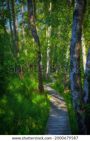 the natural path 'Spława' in the birch forest in the Polesie national park Zdjęcia stock ©