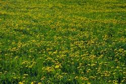 The nature's springbreak, dandelion flower meadow