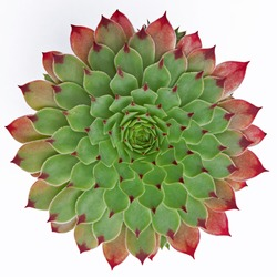 The near geometric perfection of a succulent plant ( Jovibarba hirta ) isolated on a white background
