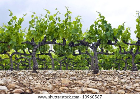 The neatly kept and gardened grape vines in a vineyard in the Cote du Rhone, South of France