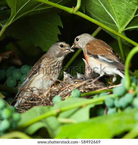 The nest of a Linnet (Acanthis cannabina, Carduelis) with baby birds in the nature.