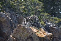 The nest of osprey bird on top of the rock, this nest is using for laying egg for multiple years