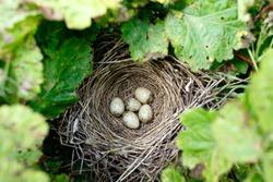 The nest of the Whitethroat in nature. Denisovo. Ryazan region, Pronsky area. Russia. Sylvia communis.
