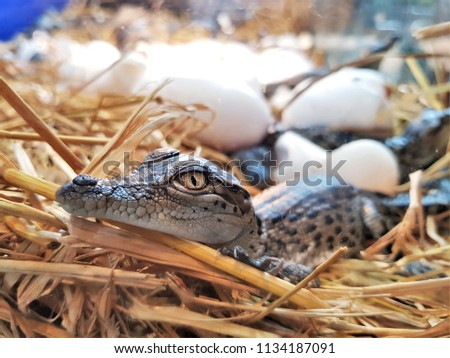 The new born freshwater crocodile or crocodile baby are poke their head out of the egg in hatchery. The Johnstone's crocodile (Crocodylus johnstoni) lives in inland creeks, rivers, lakes and swamps.