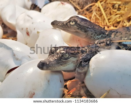 The new born freshwater crocodile or crocodile baby are poke their head out of the egg. The Johnstone's crocodile (Crocodylus johnsoni) lives in inland creeks, rivers, lakes and swamps.