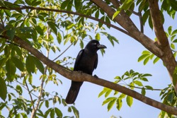 The New Caledonian crow bird on the tree. Raven in tropical jungle.