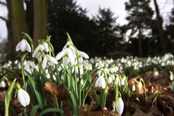 The new years emergence of spring snowdrops (Galanthus nivalis). Iconic for its white flower and appearance in woodlands, the snowdrop is a bulbous herbaceios plant.