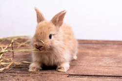 The newborn rabbit is furry, ears set, sparkling eyes, cute and eating hay on wooden table and white background, to animal concept.