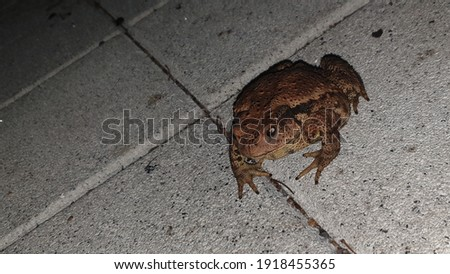 The nocturnal 'toad' is walking dangerously on the pavement. ストックフォト ©