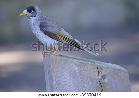 the noisy miner bird is a pest in Australia - stock photo