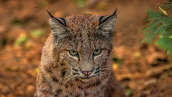 The North American Bobcat