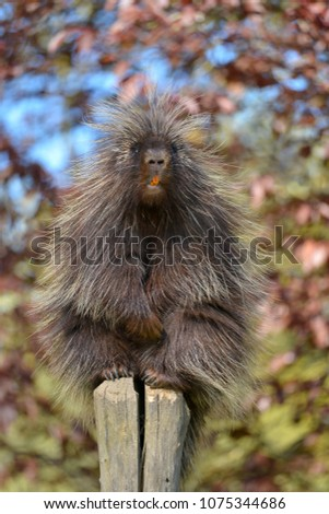 The North American porcupine (Erethizon dorsatum), also known as the Canadian porcupine or common porcupine, perched on stake with its orange incisives