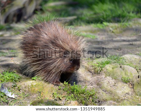 The North American porcupine (Erethizon dorsatum), also known as the Canadian porcupine or common porcupine, walking on ground