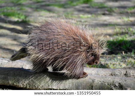 The North American porcupine (Erethizon dorsatum), also known as the Canadian porcupine or common porcupine, seen from profile