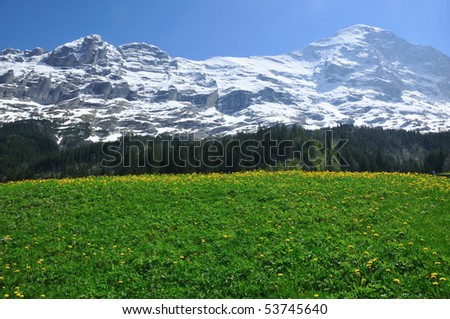 The north face of the Eiger in the swiss alps with a field of spring flowers in the foreground