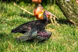 The northern bald ibis, hermit ibis, or waldrapp lat.Geronticus eremita is a migratory bird found in barren, semi-desert or rocky habitats, often close to running water.