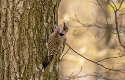The northern flicker in the spring during breeding time