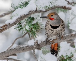 The northern flicker or common flicker is a medium-sized bird of the woodpecker family. It is native to most of North America, parts of Central America, Cuba, and the Cayman Islands, and is one of the