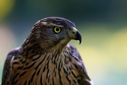 The northern goshawk (Accipiter gentilis), portrait of a young female hawk with colorful background. Portrait of a bird of prey with a yellow eye.