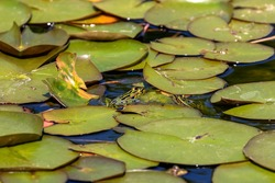 The northern leopard frog, American native animal. Frog in the water.