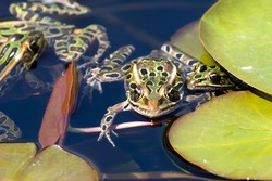 The northern leopard frog is native North American animal. It is the state amphibian of Minnesota and Vermont.