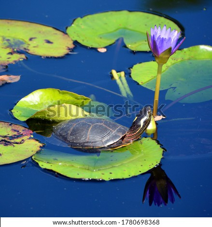 The northern map turtle (Graptemys geographica), or common map turtle is an aquatic turtle in the family Emydidae. It is endemic to North America. This turtle is kept as a pet