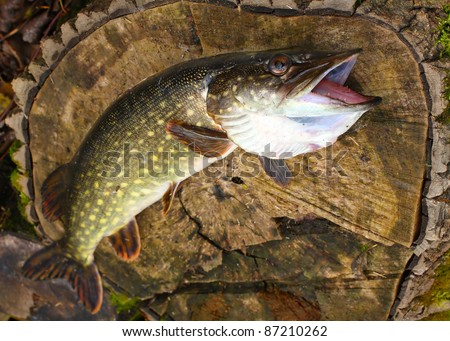 The Northern Pike (Esox lucius) have a long and distinguished history in cuisine and are popular fare in Europe. The flesh is white and mild-tasting.