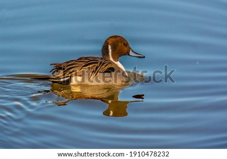 The Northern Pintail duck at Bosque del Apache National Wildlife Refuge in New Mexico Foto stock ©