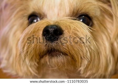 The nose of my dog. (yorkshire terrier) #1110783035