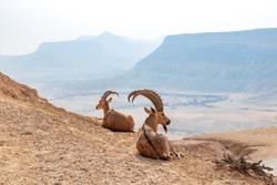 The Nubian ibex (Capra nubiana) is a desert-dwelling goat species found in mountainous areas of Algeria, Egypt, Ethiopia, Eritrea, Israel, Jordan, Lebanon, Oman, Saudi Arabia, Sudan, and Yemen.
