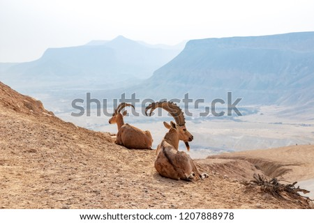 The Nubian ibex (Capra nubiana) is a desert-dwelling goat species found in mountainous areas of Algeria, Egypt, Ethiopia, Eritrea, Israel, Jordan, Lebanon, Oman, Saudi Arabia, Sudan, and Yemen. #1207888978