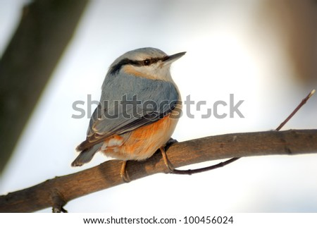 The nuthatch is a plump bird about the size of a great tit that resembles a small woodpecker.