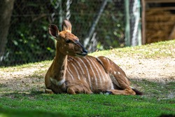 The nyala, Tragelaphus angasii is a spiral-horned antelope native to Southern Africa. It is a species of the family Bovidae and genus Nyala, also considered to be in the genus Tragelaphus.