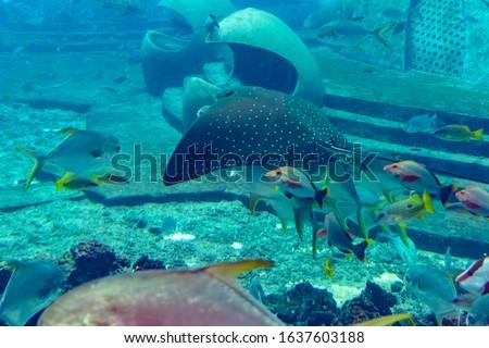 The ocellated eagle ray (Aetobatus ocellatus) is a species of cartilaginous fish in the eagle ray family Myliobatidae. Atlantis, Sanya, island Hainan, China.