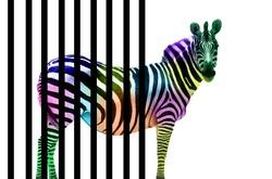 The odd zebra