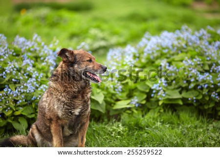The old brown gray dog sitting on the lawn in front of blue flowers