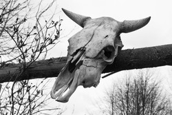 The old cranium of an ox in black and white colors